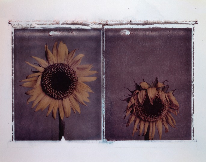 sunflower transfer
